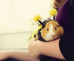 cute animals, guinea pig, and rodents image