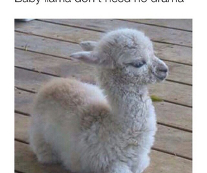 animal, baby, and lama image