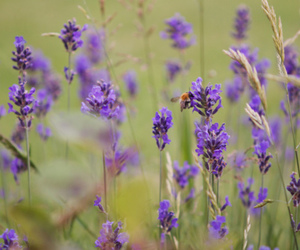 bee, lavender, and nature image