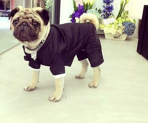 dog, pug, and suit image