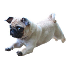 transparent and dog image