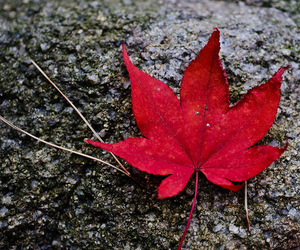 leaves, red, and autumn image