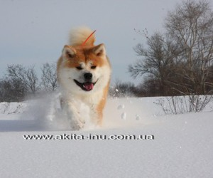 akita dogs pictures, akita dogs wallpapers, and akita hd wallpapers image