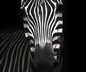 black and white, zebra, and animal.cute image