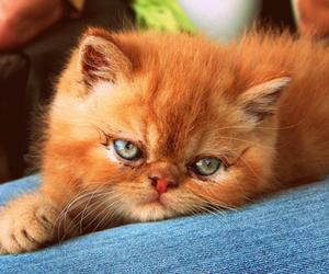 gato and persa image