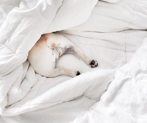 adorable, comfy, and french bulldog image