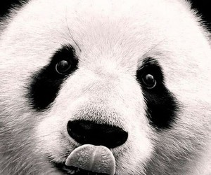 black and white, panda, and cute image