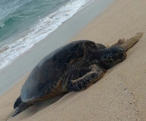 beach, chillin, and turtle image