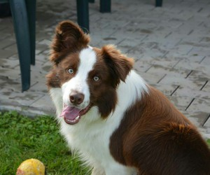 beautiful, border, and collie image