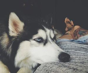 dog, tattoo, and husky image