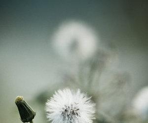 dandelion, cute, and focus image