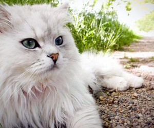 hd images persian cats and persian cats wallpapers image