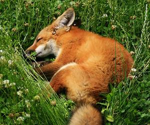 animals, fox, and nature image