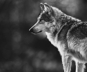 animals, wolf, and wolves image
