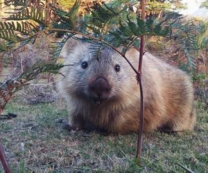 australia, cute animals, and wombat image