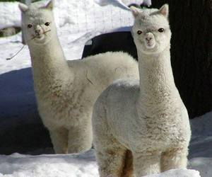llama, animal, and alpaca image