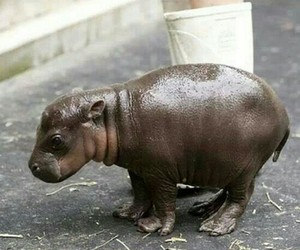 animal, hippo, and baby image