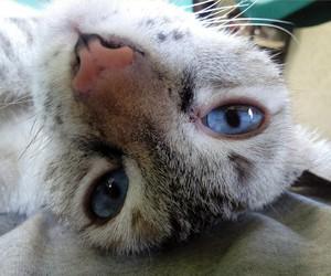 blue eyes, cat, and catnap image