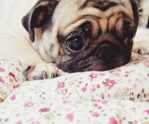 cutie, flora, and pugs image