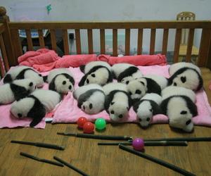 animal, baby animal, and panda image