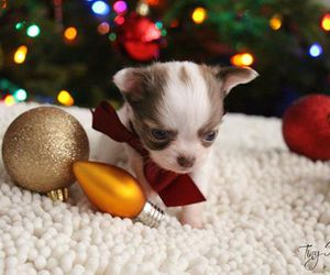 chihuahua, christmas, and puppy image