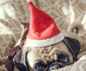 pug and cute image