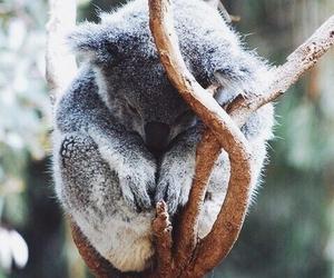 Koala, animal, and sleeping image