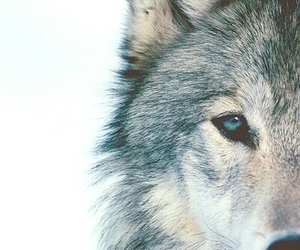 bb, wolf, and blue eyes image