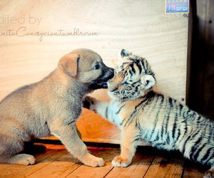 dog, cute, and tiger image