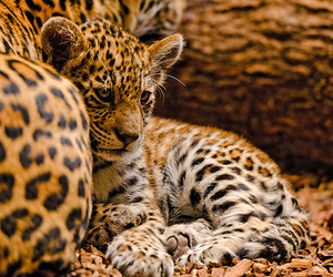 adorable, animal, and leopard image
