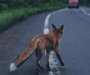 fox, animal, and road image