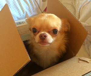 adorable, chihuahua, and puppy image