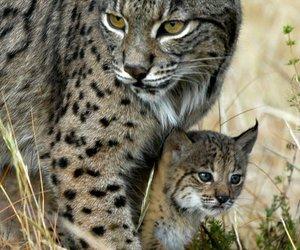 animal, lynx, and cat image