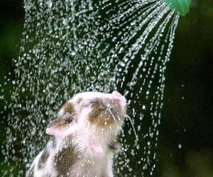 pig, cute, and shower image