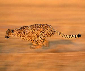 cheetah, national geographic, and sprinting image