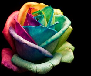 rose, colorful, and flower image