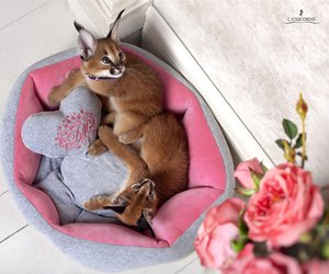 caracal and cats. image