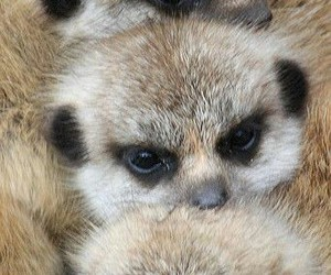 animals, meerkats, and cute image
