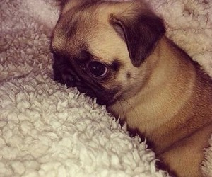cute animals, cute dogs, and pug image