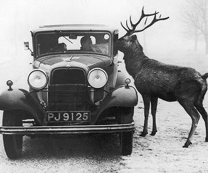 car, deer, and black and white image