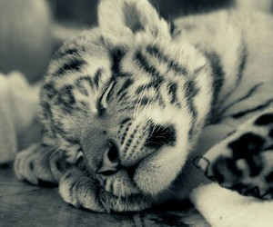 tiger, cute, and pretty image