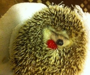 hedgehog, funny, and raspberry image