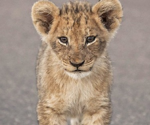 cute animals, lion cub, and wild image