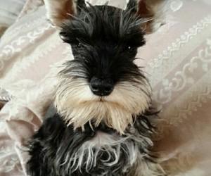 adorable, doggie, and mini image