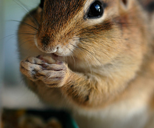 animal, chipmunk, and cute image