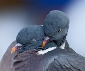 love, birds, and pigeon image