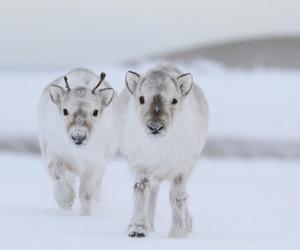 cute, reindeer, and snow image