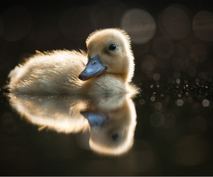 duck and cute image