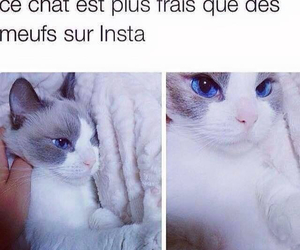 chat, perfection, and yeux bleu image
