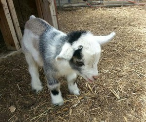 animal, baby, and goat image